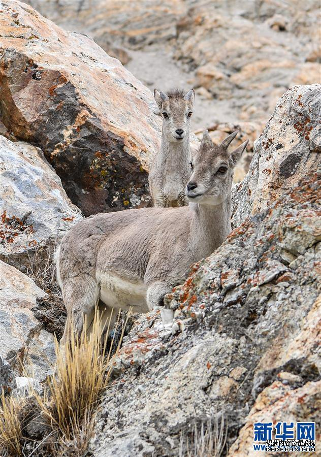 (2020珠峰高程测量)(5)珠峰自然保护区生物多样性得到有效保护